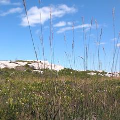 Plant form: Molinia caerulea. ~ By Marilee Lovit. ~ Copyright © 2020 Marilee Lovit. ~ lovitm[at]gmail.com