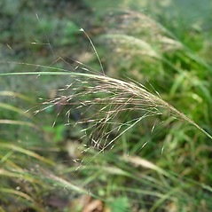 Inflorescences: Muhlenbergia capillaris. ~ By Arthur Haines. ~ Copyright © 2020. ~ arthurhaines[at]wildblue.net