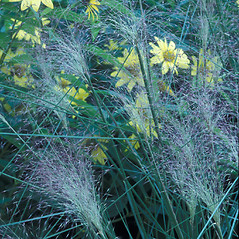 Inflorescences: Muhlenbergia capillaris. ~ By William Cullina. ~ Copyright © 2020 William Cullina. ~ bill[at]williamcullina.com