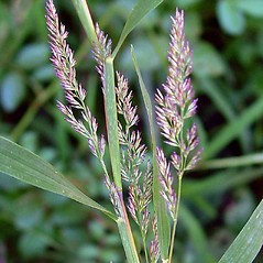 Inflorescences: Muhlenbergia frondosa. ~ By Arthur Haines. ~ Copyright © 2020. ~ arthurhaines[at]wildblue.net
