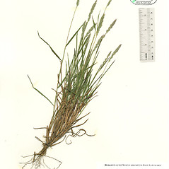 Plant form: Muhlenbergia racemosa. ~ By The Herbarium of The Morton Arboretum (MOR). ~ Copyright © 2021 The Morton Arboretum. ~ Ed Hedborn, The Morton Arboretum ~ The Herbarium of The Morton Arboretum