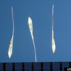 Spikelets: Muhlenbergia schreberi. ~ By Theodore Webster. ~ Copyright © 2021 CC BY-NC 3.0. ~  ~ Bugwood - www.bugwood.org/
