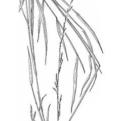 Plant form: Muhlenbergia sobolifera. ~ By Mary Barkworth. ~ Copyright © 2021 Mary Barkworth. ~ Mary.Barkworth[at]usu.edu ~ Manual of Grasses for North America