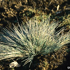Plant form: Nardus stricta. ~ By Gil Wojciech. ~ Copyright © 2020 CC BY-NC 3.0. ~  ~ Bugwood - www.bugwood.org/