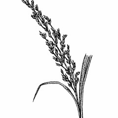 Inflorescences: Panicum amarum. ~ By Elizabeth Farnsworth. ~ Copyright © 2019 New England Wild Flower Society. ~ Image Request, images[at]newenglandwild.org