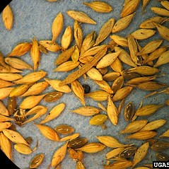 Spikelets: Panicum capillare. ~ By Lynn Sosnoskie. ~ Copyright © 2020 CC BY-NC 3.0. ~  ~ Bugwood - www.bugwood.org/