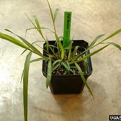 Leaves: Panicum dichotomiflorum. ~ By Lynn Sosnoskie. ~ Copyright © 2020 CC BY-NC 3.0. ~  ~ Bugwood - www.bugwood.org/