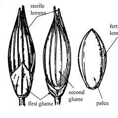 Spikelets: Panicum flexile. ~ By USDA-NRCS PLANTS Database. ~  Public Domain. ~ None needed ~ USDA-NRCS Plants Database - plants.usda.gov/java/