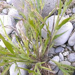 Plant form: Panicum philadelphicum. ~ By Franco Giordana. ~ Copyright © 2020 Franco Giordana. ~ francogrd[at]gmail.com ~ Acta Plantarum -  www.actaplantarum.org