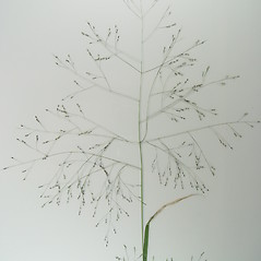 Inflorescences: Panicum philadelphicum. ~ By Donald Cameron. ~ Copyright © 2021 Donald Cameron. ~ No permission needed for non-commercial uses, with proper credit