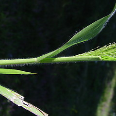 Leaves: Panicum philadelphicum. ~ By Donald Cameron. ~ Copyright © 2021 Donald Cameron. ~ No permission needed for non-commercial uses, with proper credit