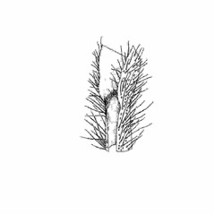 Ligules: Panicum philadelphicum. ~ By Southern Illinois University Press. ~ Copyright © 2021 Southern Illinois University Press. ~ Requests for image use not currently accepted by copyright holder ~ The Illustrated Flora of Illinois: Flowering Plants, Grasses: Panicum to Danthonia by Robert H. Mohlenbrock ; Mirian Wysong Meyer and Dr. Kenneth Lewis Weik, Illustrators, Southern Illinois U. Press © 1973 by the Board of Trustees, Southern Illinois U.