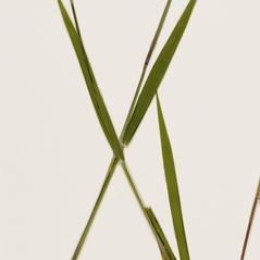 Leaves: Panicum verrucosum. ~ By Troy University Herbarium. ~ Copyright © 2019. ~ Brian Keener, bkeener[at]uwa.edu ~ Troy U. Herbarium