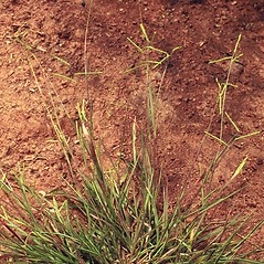 Plant form: Paspalum laeve. ~ By Ted Bodner. ~ Copyright © 2020 CC BY-NC 3.0. ~  ~ Bugwood - www.bugwood.org/