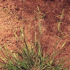 Plant form: Paspalum laeve. ~ By Ted Bodner. ~ Copyright © 2021 CC BY-NC 3.0. ~  ~ Bugwood - www.bugwood.org/