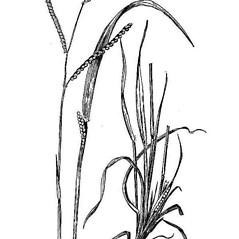 Leaves: Paspalum laeve. ~ By USDA-NRCS PLANTS Database. ~  Public Domain. ~ None needed ~ USDA-NRCS Plants Database - plants.usda.gov/java/