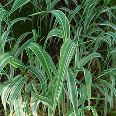 Leaves: Phalaris arundinacea. ~ By Arthur Haines. ~ Copyright © 2021. ~ arthurhaines[at]wildblue.net