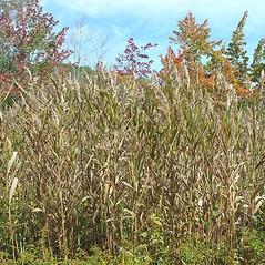 Plant form: Phragmites americanus. ~ By Arthur Haines. ~ Copyright © 2021. ~ arthurhaines[at]wildblue.net