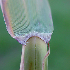 Ligules: Phragmites australis. ~ By Arthur Haines. ~ Copyright © 2021. ~ arthurhaines[at]wildblue.net