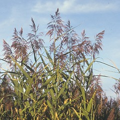 Plant form: Phragmites australis. ~ By Christopher Mattrick. ~ Copyright © 2021 New England Wild Flower Society. ~ Image Request, images[at]newenglandwild.org