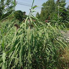 Plant form: Phragmites australis. ~ By Glen Mittelhauser. ~ Copyright © 2020 Glen Mittelhauser. ~ www.mainenaturalhistory.org