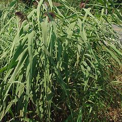 Leaves: Phragmites australis. ~ By Glen Mittelhauser. ~ Copyright © 2020 Glen Mittelhauser. ~ www.mainenaturalhistory.org