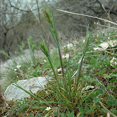 Plant form: Poa bulbosa. ~ By Andrea Moro. ~ Copyright © 2020 CC BY-NC-SA 3.0. ~  ~ www.luirig.altervista.org
