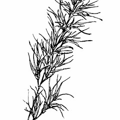 Inflorescences: Poa bulbosa. ~ By Gordon Morrison. ~ Copyright © 2019 New England Wild Flower Society. ~ Image Request, images[at]newenglandwild.org