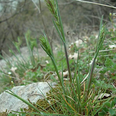 Leaves: Poa bulbosa. ~ By Andrea Moro. ~ Copyright © 2020 CC BY-NC-SA 3.0. ~  ~ www.luirig.altervista.org
