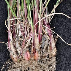 Stems and sheaths: Poa bulbosa. ~ By Robert L. Carr. ~ Copyright © 2020. ~ CheneyBobLin[at]aol.com ~ Flora of Eastern Washington and Adjacent Idaho - web.ewu.edu/ewflora/