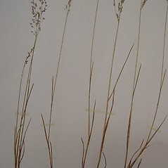 Plant form: Poa interior. ~ By Arthur Haines. ~ Copyright © 2021. ~ arthurhaines[at]wildblue.net