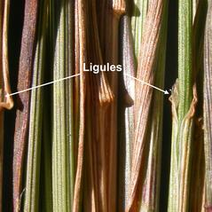 Ligules: Poa interior. ~ By Matt Lavin. ~ Copyright © 2021 CC BY-SA 2.0. ~  ~ www.flickr.com/photos/plant_diversity/