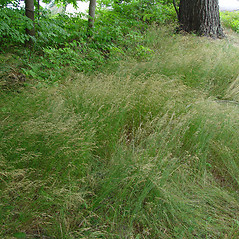 Plant form: Poa nemoralis. ~ By Arthur Haines. ~ Copyright © 2021. ~ arthurhaines[at]wildblue.net