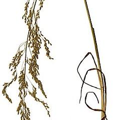 Plant form: Poa palustris. ~ By Anna Gardner. ~ Copyright © 2020. ~ dlewis[at]ias.edu ~ Ada Hayden Herbarium - Iowa State U.