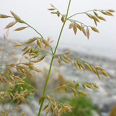 Inflorescences: Poa palustris. ~ By Glen Mittelhauser. ~ Copyright © 2021 Glen Mittelhauser. ~ www.mainenaturalhistory.org