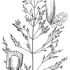 Ligules: Poa palustris. ~ By Elsie Froeschner. ~ Copyright © 2020 Ellen L. Froeschner. ~ Ellen L. Froeschner, 1939-A Frankin Blvd., Carmel Indiana 46032 ~ Ada Hayden Herbarium - Iowa State U.