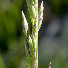 Spikelets: Poa secunda. ~ By Keir Morse. ~ Copyright © 2019 Keir Morse. ~ www.keiriosity.com ~ www.keiriosity.com