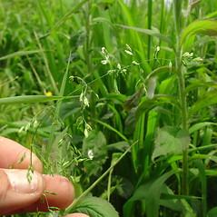 Inflorescences: Poa trivialis. ~ By Glen Mittelhauser. ~ Copyright © 2021 Glen Mittelhauser. ~ www.mainenaturalhistory.org