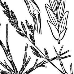 Spikelets: Puccinellia maritima. ~ By Hippolyte Coste. ~ Copyright © 2020 Public Domian. ~ None needed ~ Flore descriptive et illustr_e de la France, de la Corse et des contr_es limitrophes