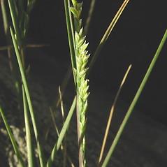 Inflorescences: Puccinellia pumila. ~ By Glen Mittelhauser. ~ Copyright © 2020 Glen Mittelhauser. ~ www.mainenaturalhistory.org