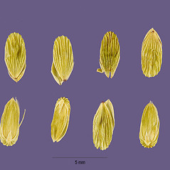 Spikelets: Sacciolepis striata. ~ By Tracey Slotta. ~  Public Domain. ~   ~ USDA-NRCS Plants Database - plants.usda.gov/java/