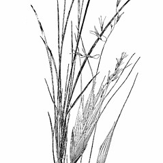 Plant form: Schizachne purpurascens. ~ By Agnes Chase. ~  Public Domain. ~ None needed ~ A.S. Hitchcock. 1950. Manual of Grasses of the United States (2nd edition rev. Agnes Chase), USDA Misc. Pub. 200