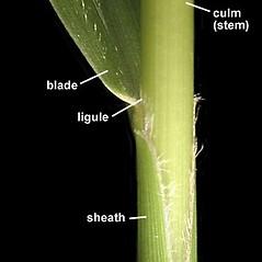Ligules: Setaria faberi. ~ By Anna Gardner. ~ Copyright © 2021. ~ dlewis[at]ias.edu ~ Ada Hayden Herbarium - Iowa State U.