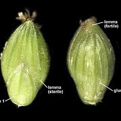Spikelets: Setaria faberi. ~ By Anna Gardner. ~ Copyright © 2020. ~ dlewis[at]ias.edu ~ Ada Hayden Herbarium - Iowa State U.