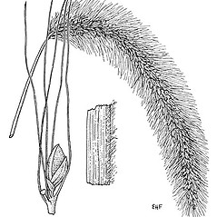 Stems and sheaths: Setaria faberi. ~ By Elsie Froeschner. ~ Copyright © 2021 Ellen L. Froeschner. ~ Ellen L. Froeschner, 1939-A Frankin Blvd., Carmel Indiana 46032 ~ Ada Hayden Herbarium - Iowa State U.