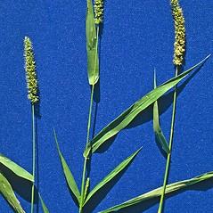 Plant form: Setaria verticillata. ~ By Steve Dewey. ~ Copyright © 2020 CC BY-NC 3.0. ~  ~ Bugwood - www.bugwood.org/