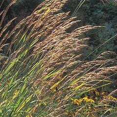 Plant form: Sorghastrum nutans. ~ By William Cullina. ~ Copyright © 2021 William Cullina. ~ bill[at]williamcullina.com