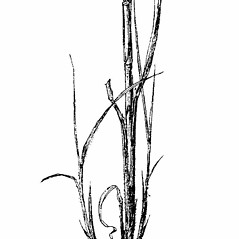 Stems and sheaths: Sorghastrum nutans. ~ By Julian A. Steyermark. ~ Copyright © 2020. ~ Allison Brock, Allison.Brock[at]mobot.org ~ Steyermark, Julian A. 1963. The Flora of Missouri. The Iowa State U. Press, Ames, IA. 1725pp.