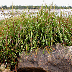 Plant form: Spartina alterniflora. ~ By Marilee Lovit. ~ Copyright © 2020 Marilee Lovit. ~ lovitm[at]gmail.com