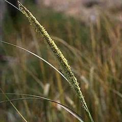 Inflorescences: Spartina alterniflora. ~ By Joseph DiTomaso. ~ Copyright © 2021 CC BY-NC 3.0. ~  ~ Bugwood - www.bugwood.org/